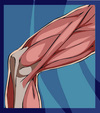 Muscles_of_knee