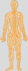 Nervous_system_4